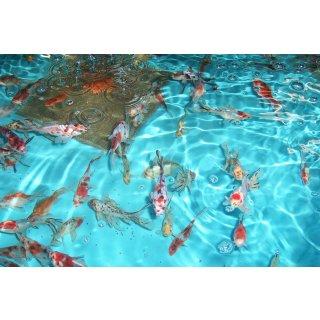 Shubunkin koi teichfische online kaufen koicenter for Teichfische shubunkin