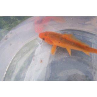 Goldkarpfen 7 10 cm koi teichfische online kaufen for Teichfische preise