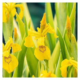 Sumpf Schwertlilie 5 Samen Iris Pseudacorus